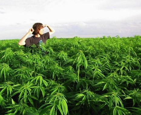 Ямайская марихуана через какое время конопля выходит из крови