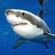 Турист отбился от белой акулы, ткнув ей пальцем в глаз