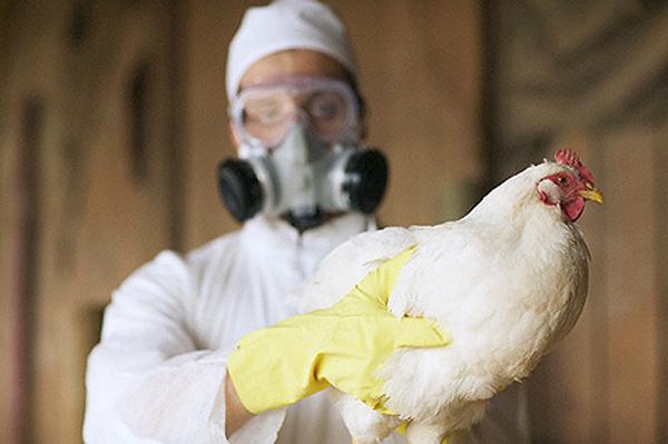 Роспотребнадзор предупредил русских туристов овспышках птичьего гриппа вевропейских странах