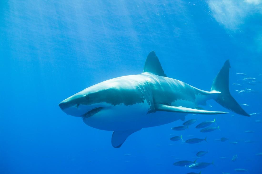 что картинки красивых белых акул чего-чего, есть меня