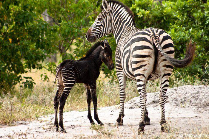 В Кении чёрная зебра спровоцировала у туристов ажиотаж и давку