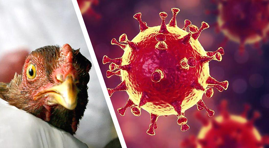 карта птичьего гриппа картинки для ростите, пец